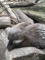 Porcupine resting ^^ (Sibi) Tags: born porcupine wildpark localzoo hystrix stekelvarken kasteelpark