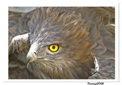 barcelona birdsprey specanimal rapinyaires cimdelesàguilesrapaces