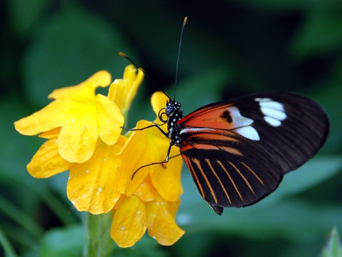 Orange and Black Striped Butterfly