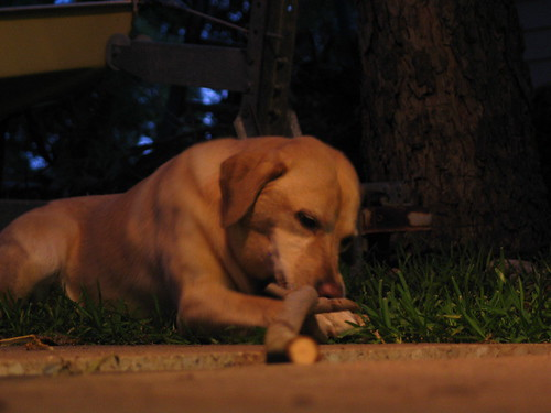 labrador retriever - Asha