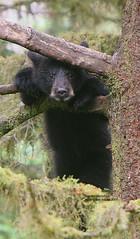 Peek-a-boo (bud_marschner) Tags: bear black creek cub babies anan natures alaksa mywinners impressedbeauty
