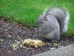 Western grey squirrel in our backyard