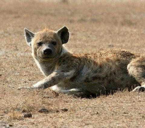 Hyena looks...