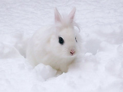 White (Firenzesca) Tags: winter white snow rabbit bunny bright 100v10f neve inverno bianco blueribbon coniglio aclass peopleschoice blueribbonwinner flickrsmileys abigfave aplusphoto freenature mcb1020