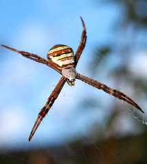 St Andrews Cross Spider - by aussiegall