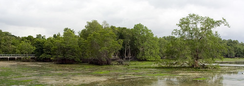 mangrove forest and boardwalk