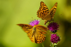doublefly (li-la-lutz) Tags: two orange motion animal butterfly spectacular flying wings wildlife natur double lila dotted explore bewegung falter wald animalplanet zwei bunt tier schmetterling disteln 316 flgel naturesfinest 10faves 25faves specanimal naturesgallery gepunktet p1f1 impressedbeauty 1982007 aug192007