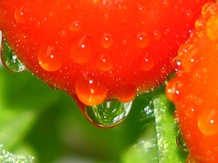 Ripe for the pick'n (ET Photo Home!) Tags: red food green droplets tomatoe abigfave colorphotoaward