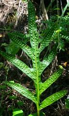 Green Leaf (bozy10) Tags: hawaii leaf valley waipio