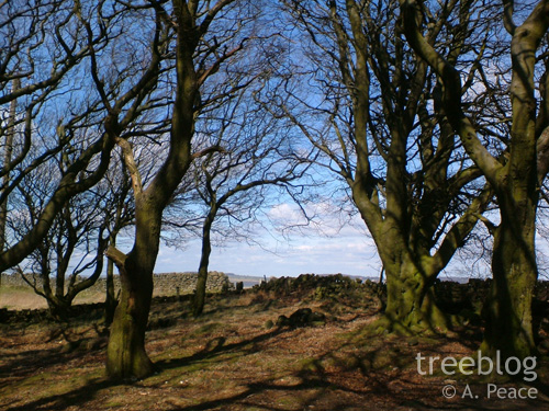beech trees (5th April 2006)
