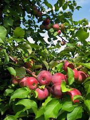 Too Much Knowledge! (Scriblerus) Tags: apple michigan orchard temptation satanic appletree freshfruit postlapsarian campmadron paradisal edenic