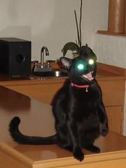 Hellcat / Gato infernal