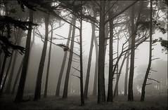 trees Presidio Leica CL Acros VS 4000 Scan-070925-0016 A FFw (rich8155 (Richard Sintchak)) Tags: sanfrancisco trees mist fog presidio acros biogon leicacl treesinfog treesinmist 35biogon
