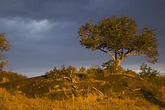 Serengeti Sunset (elosoenpersona) Tags: africa sunset storm tree tanzania arbol atardecer nikon d70 safari tormenta lobo serengeti acacia aplusphoto travelerphotos elosoenpersona