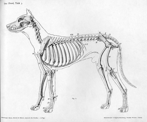 dog - lateral skeletal view