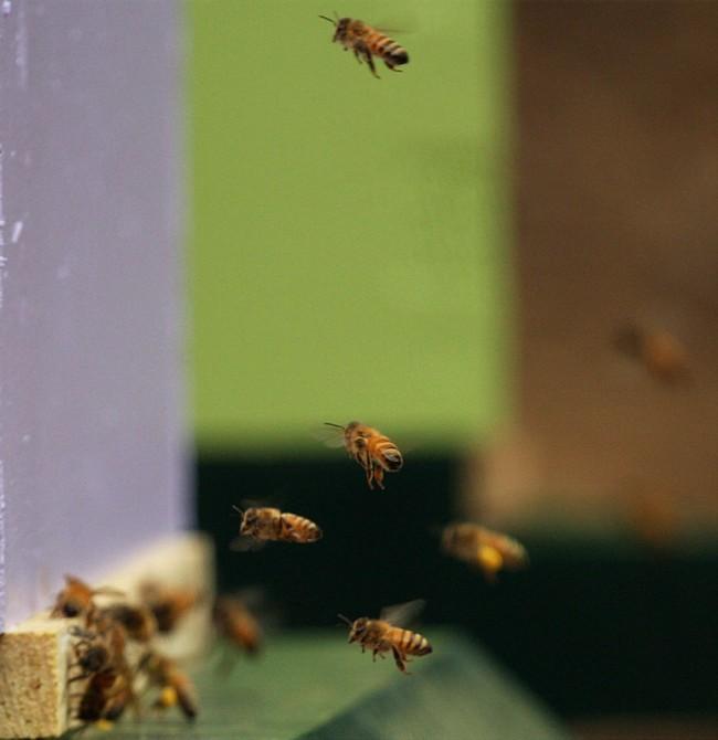 beekeeping 197 (650 x 670)