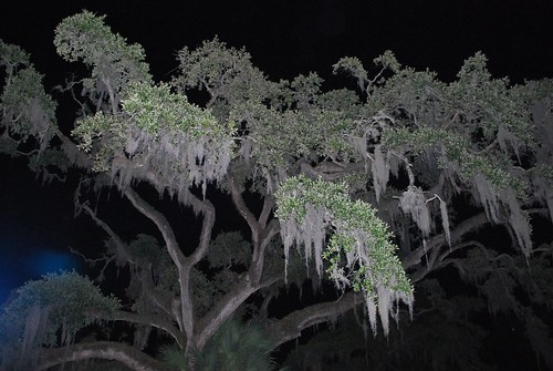 Spanish Moss at Night