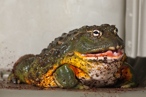 do chubby frogs have teeth