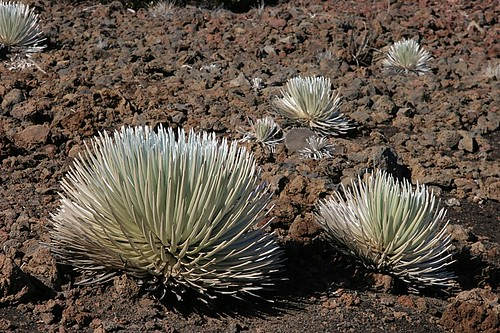 Silversword at Haleakala