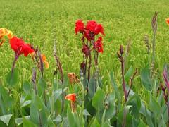 鳳仙花和稻田