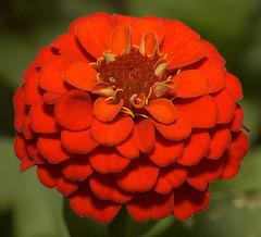 Zinnia (ScreaminScott) Tags: red flower macro zinnia