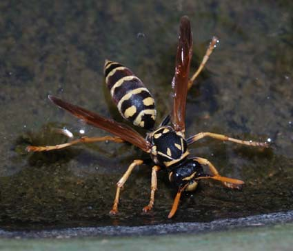 europeanpaperwasp