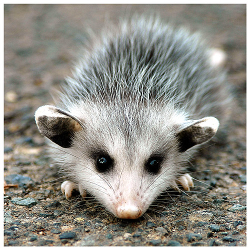 More baby possums! –...