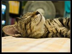 sweet dream (Sherwin_andante) Tags: cat toro 貓 2007 e510 zd 1442mm 200708 龍二