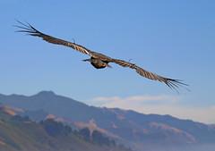 Flyin' Off Into The Weekend (Beefus) Tags: california bird bigsur condor animalplanet endangeredspecies naturescenes gymnogypscalifornianus featheryfriday