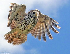 Barred Owl in Flight by Jim Sullivan (jb.sullivan) Tags: county mine south flight indiana jim owl sullivan chinook vigo barred terrehaute ias naturesfinest jimsullivan specanimal