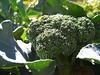 garden #3699: AWESOME broccoli