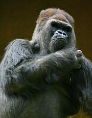 "They Call Me ""Mister"" (Don Baird) Tags: gorilla onlythebestare oldphotoofpoposmillionyearolduncle"