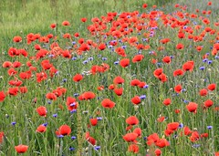 (:Linda:) Tags: blue flower germany village meadow wiese thuringia poppy wildflower cornflower kornblume mohn bluewildflower blumenwiese mohnblume brnn wildblumenwiese