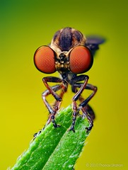 Robber Fly (Holcocephala fusca) (Thomas Shahan) Tags: portrait macro slr oklahoma face vintage bug insect lens 50mm prime fly compound eyes pentax zoom thomas flash tubes robberfly extension reversed dslr smc vivitar diffuser heard robber entomology fusca macrophotography asilidae shahan f17 thyristor holcocephala k200d justpentax artrhropod