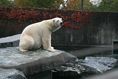 Eisbär / polar bear