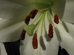 Floating Coffee Beans (Lancs Lass1) Tags: flower macro closeup petals centre lilly stamen coffeebeans mygearandmepremium