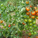 """tomato3 • <a style=""""font-size:0.8em;"""" href=""""http://www.flickr.com/photos/52479745@N06/5126773592/"""" target=""""_blank"""">View on Flickr</a>"""