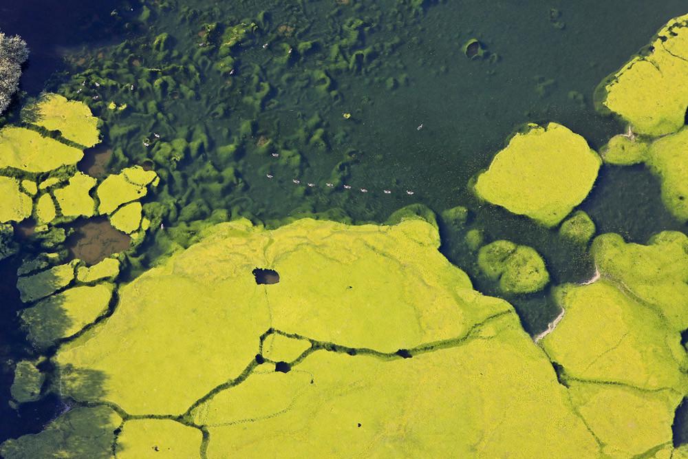 Luftbild von Enten auf einem Fischteich zwischen Algenteppichen