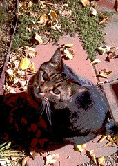 Butch (mandymooo) Tags: cat tabby butch posterized
