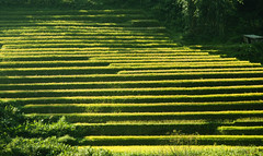 Ruộng bậc thang (TuanPhan.Photography) Tags: sapa làocai hoađào tâybắc hàmrồng vườnhồng ruộngbậcthang phốnúi dântộcdao nhàthờsapa