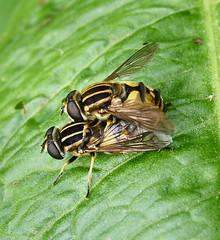Diptera (byrons.nature) Tags: macro nature fauna wildlife insects bugs flies
