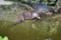 Europäischer Fischotter (Rebekka Peiser) Tags: zoo köln fischotter zooköln europäischerfischotter