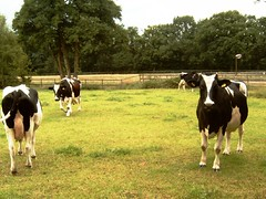 Friesian cows (Davydutchy) Tags: netherlands kuh cows fries vee friesland khe vache holstein koe koeien vieh frysln viech nieuwehorne zwartbont thebiggestgroup friesianholstein