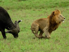 The Chase: Run!!! (Makgobokgobo) Tags: africa mammal buffalo bravo lion botswana predator hunt wma okavango duba panthera pantheraleo synceruscaffer okavangodelta wildlifemanagementarea syncerus dubaplains ng23 kwandowildlifemanagementarea bfgreatesthits