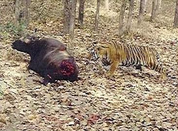 lioness vs tiger hunting