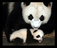 Meet Bing Bing and her little girl (electra-cute) Tags: panda bingbing jewel baoshi pandarazziblog