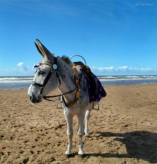 Blackpool donkey (moggierocket) Tags: uk shadow beach animal clouds sand teddy donkey blackpool seasideresort donkeyride