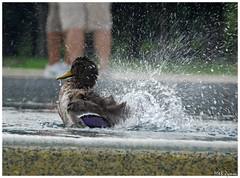 bath/ streets of Washington D.C. (Magda'70) Tags: usa cute bird birds america fun us duck dc washington bath metroplex anawesomeshot aplusphoto