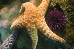 Sea star and sea urchin