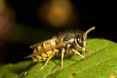 "Median wasp (Dolichovespula media)(6) • <a style=""font-size:0.8em;"" href=""http://www.flickr.com/photos/57024565@N00/1401614989/"" target=""_blank"">View on Flickr</a>"